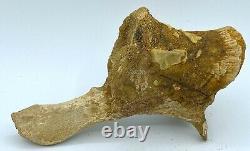 Spinosaurus Caudal Vertebra Dinosaur Fossil before T Rex Cretaceous C6