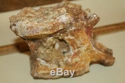 Spinosaurus Vertebra 5 Dinosaur Fossil T Rex era Cretaceous SUS2