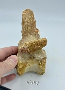 Spinosaurus Vertebra Dinosaur Fossil before T Rex Cretaceous SV7