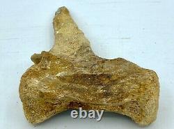 Theropod Caudal Vertebra Dinosaur Fossil before T Rex Cretaceous C1