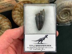 Tyrannosaurus Rex Premax Tooth #02 Hell Creek, Montana, T rex dinosaur fossil