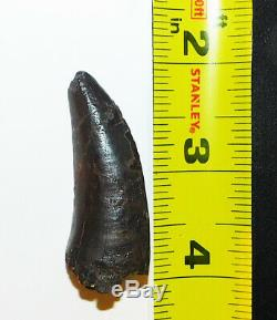 Tyrannosaurus T. Rex Dinosaur Tooth Fossil 1.87 inches