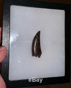 Tyrannosaurus T. Rex Dinosaur Tooth Fossil 2 inches