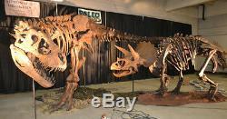 Tyrannosaurus rex T. Rex Dinosaur Cast Skeleton Posed to Suit Your Needs