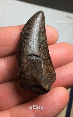 Tyrannosaurus rex T. Rex Dinosaur Tooth Fossil Teeth Fossils 2.16 inches