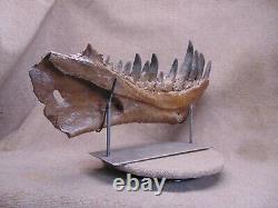 Tyranosaurus Rex T-Rex mandible dinosaur fossil jaw cast replica