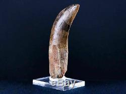 XL 3.6 IN Carcharodontosaurus Fossil Dinosaur Serrated Tooth T-Rex COA & Stand