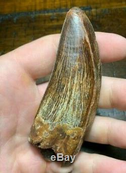 XL 4.1 Carcharodontosaurus Dinosaur Tooth Fossil T Rex Africa Morocco