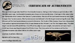XL 4.2 Carcharodontosaurus Fossil Tooth Cretaceous Dinosaur African T-Rex COA